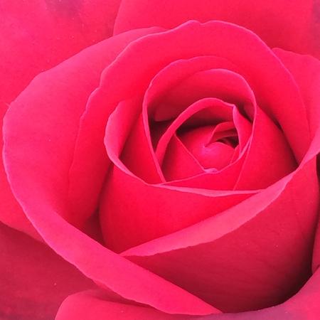 Valentine's Day - Rose